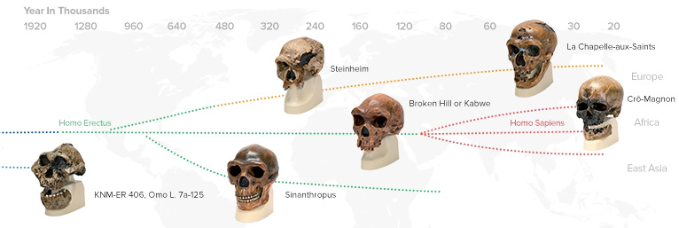 Anthropologique Skulls