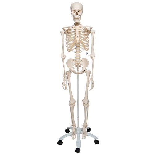 Squelette humain Stan - Squelette anatomique - Squelette plastique ... 134a92ca234