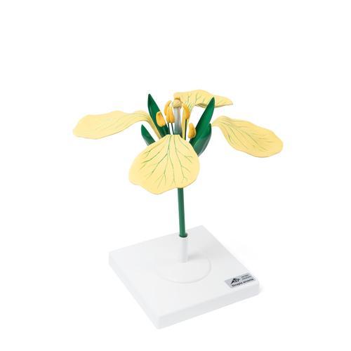 fleur de moutarde des champs sinapis arvenis mod le 1017831 t210121 dicotyl dones 3b. Black Bedroom Furniture Sets. Home Design Ideas