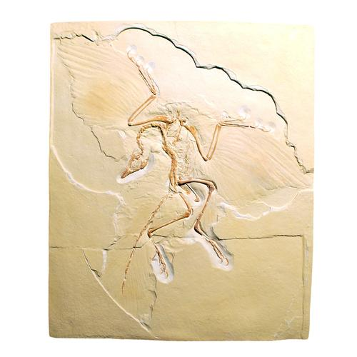 Archaeopteryx lithographica, rêplique, 1018509 [U75005], Fossiles