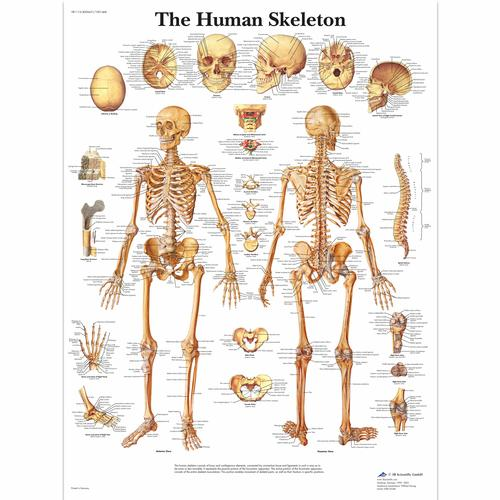 The Human Skeleton, 4006651 [VR1113UU], système Squelettique