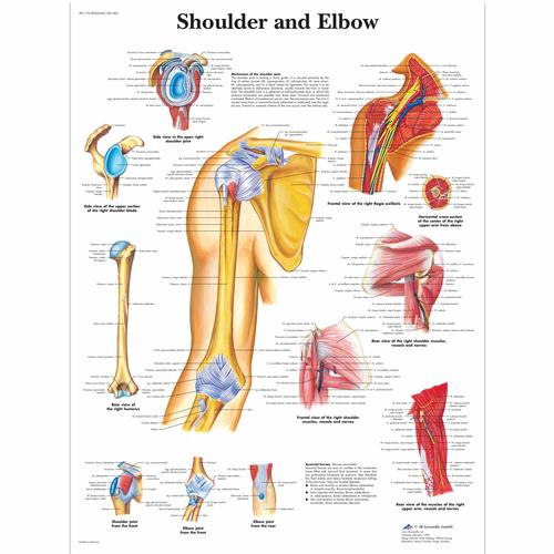 Shoulder and Elbow, 4006658 [VR1170UU], système Squelettique