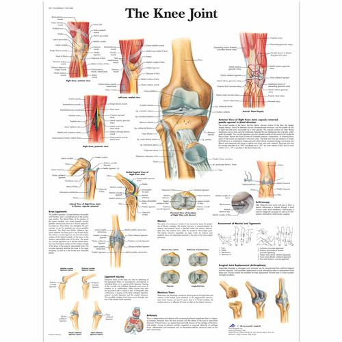 The Knee Joint, 1001488 [VR1174L], système Squelettique