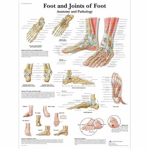Foot and Joints of Foot - Anatomy and Pathology, 4006662 [VR1176UU], système Squelettique
