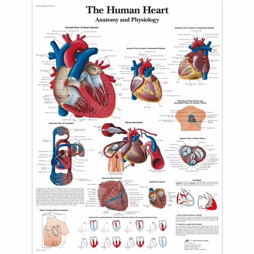 The human heart - Anatomy and Physiology, 4006679 [VR1334UU], système cardiovasculaire