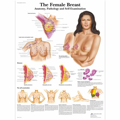 The Female Breast - Anatomy, Pathology and Self-Examination, 4006705 [VR1556UU], Education à la santé Femme