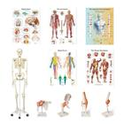 Ensemble d'anatomie Physio - clinique, 8001103, Ensembles d'anatomie