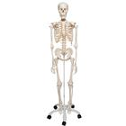 A10: Human Skeleton Model - Stan - on pelvic mounted 5 foot roller stand