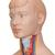 Torse miniature, en 12 parties - 3B Smart Anatomy, 1000195 [B22], Modèles de troncs humains (Small)