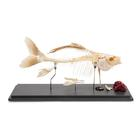 T30001: Fish skeleton - Carp (Cyprinus carpio)