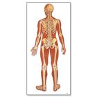 V2002U: The Human Skeleton Chart, rear