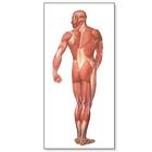 V2005U: The Human Musculature Chart, rear