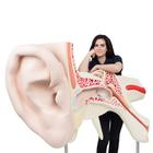 VJ510: World's Largest Ear Model, 15 times full-size, 3 part