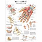 Hand and Wrist - Anatomy and Pathology, 1001484 [VR1171L], système Squelettique