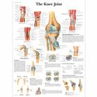 The Knee Joint, 4006661 [VR1174UU], système Squelettique