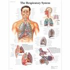 The Respiratory System, 4006675 [VR1322UU], Système Respiratoire