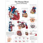 VR1334UU: The Human Heart Chart - Anatomy and Physiology