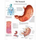 The Stomach, 1001546 [VR1426L], Système digestif