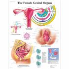 The Female Genital Organs, 4006701 [VR1532UU], Gynécologie