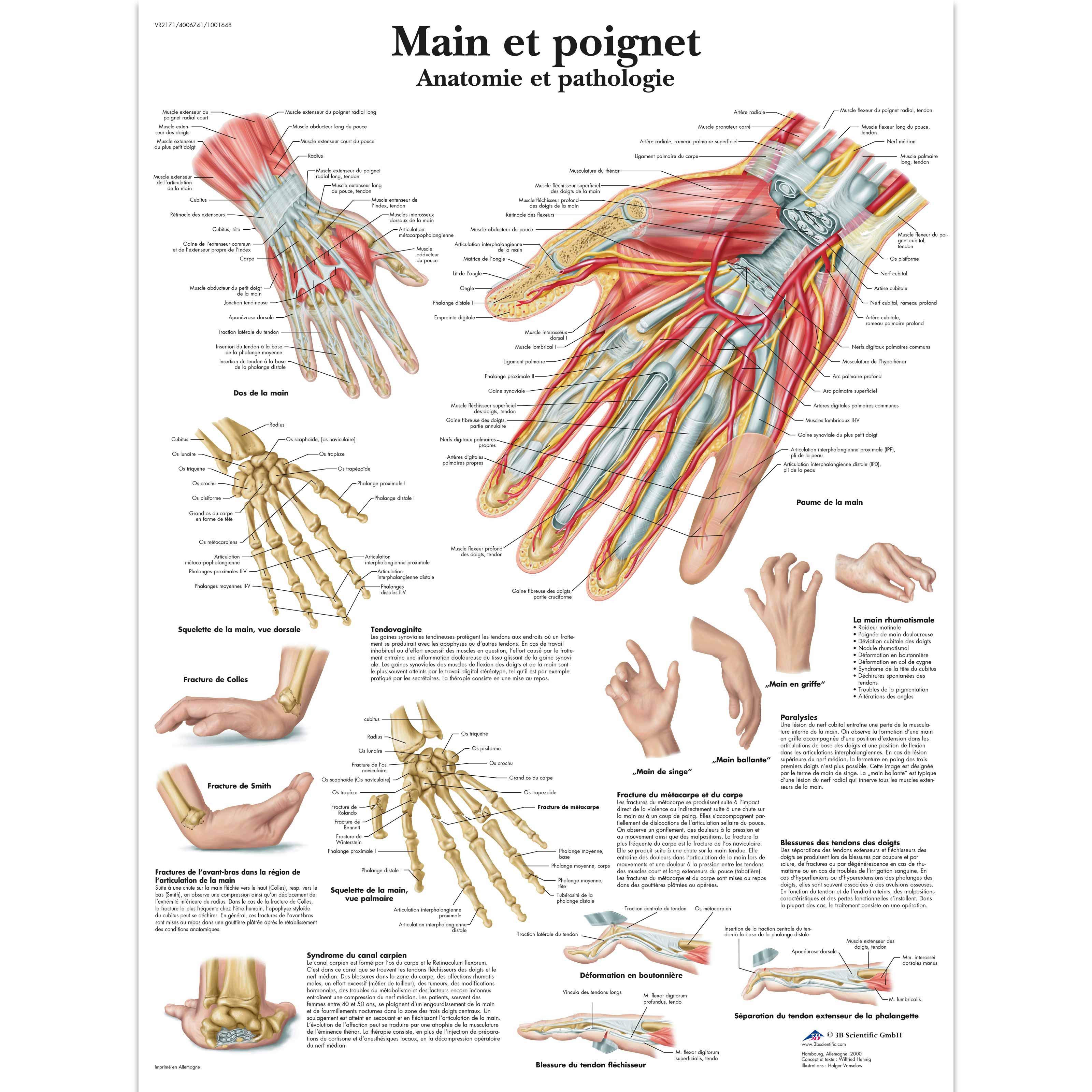 Main et poignet - Anatomie et pathologie - 4006741 - VR2171UU ...