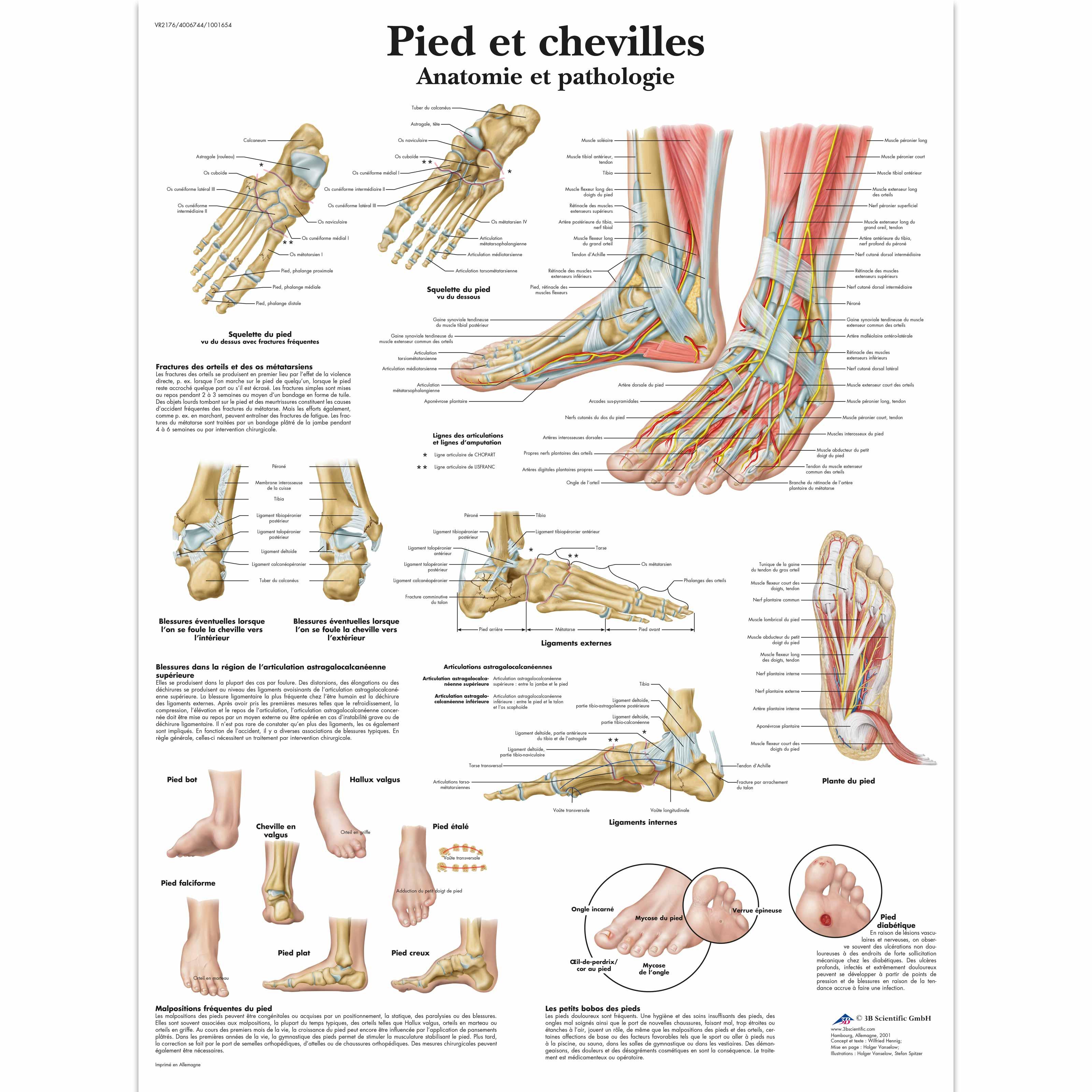 Pied et chevilles - Anatomie et pathologie - 4006744 - VR2176UU ...
