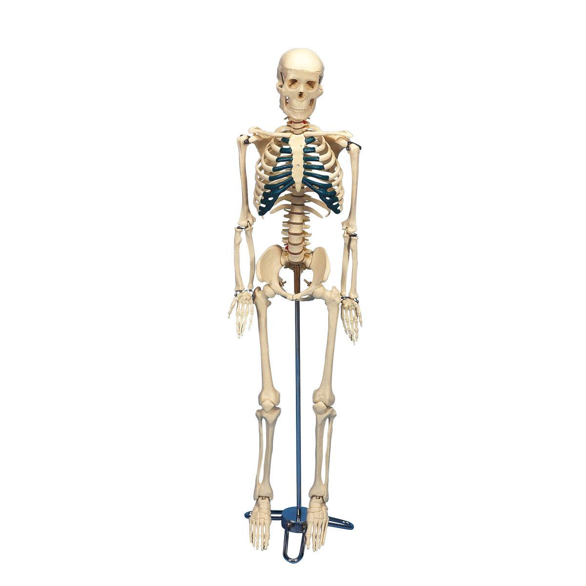 squelette humain de bureau mini 84 cm 1005457 w33000 squelettes humains taille r duite. Black Bedroom Furniture Sets. Home Design Ideas
